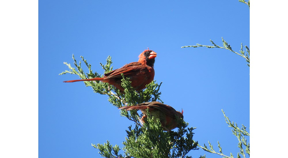 Childrens_CJ_Cardinals_in_Tree