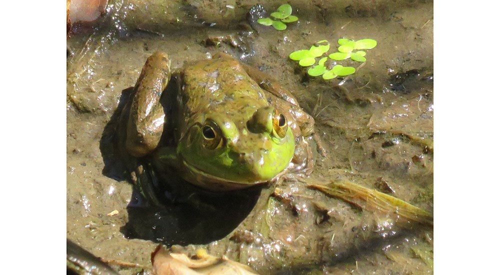 Childrens_CJ_Frog_in_Water