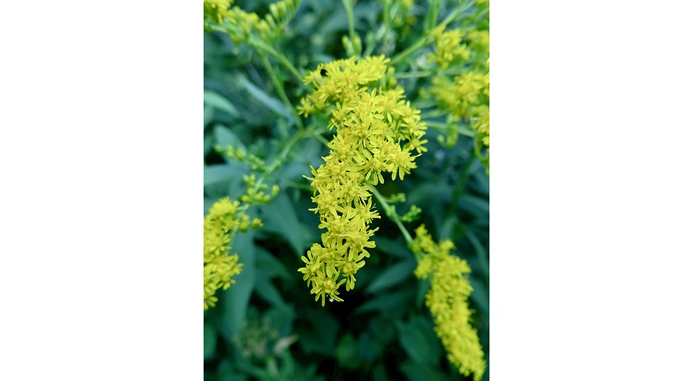Scenery_SC_Glorious_Goldenrod