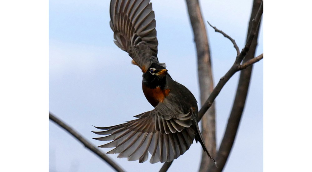 Wildlife_PW_Robin_Taking_Off