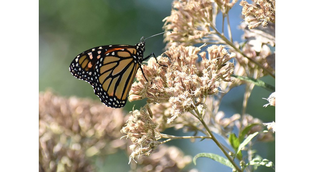 Wildlife_SC_Fall_Monarch
