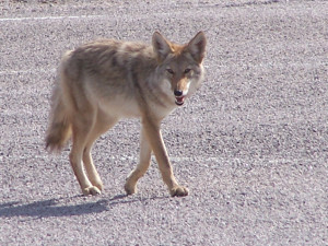 coyote-nps-file-photo